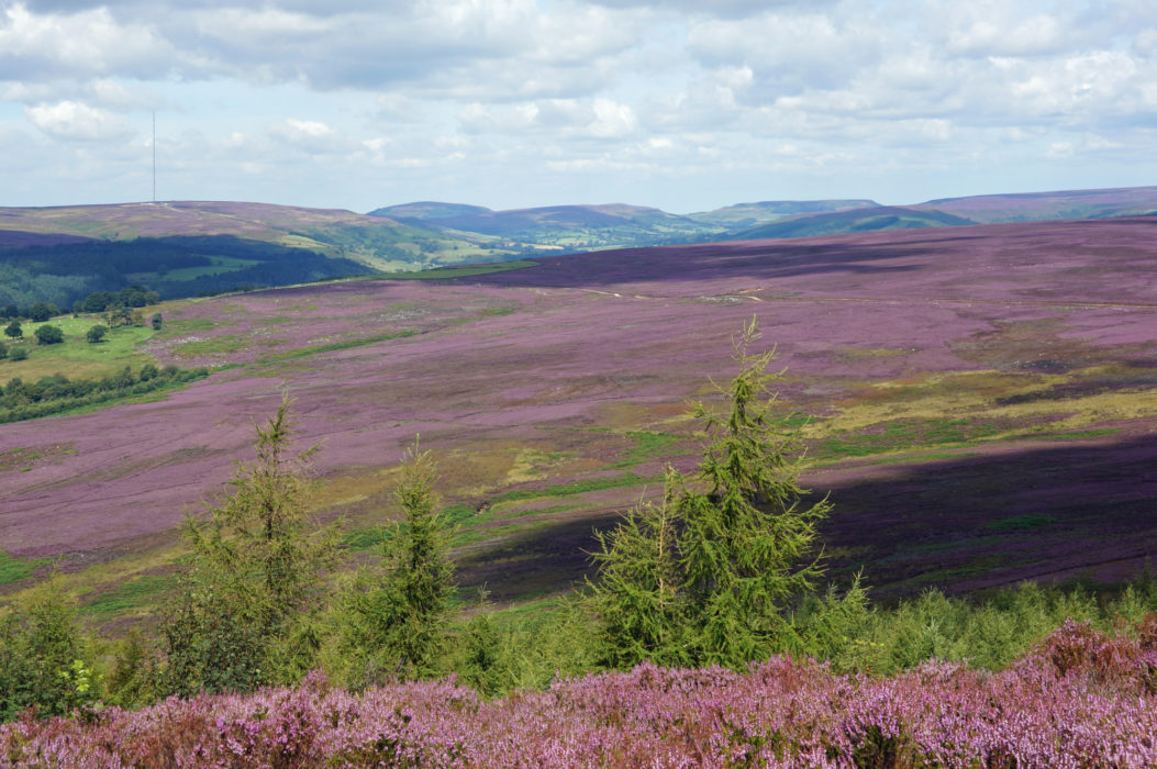 The North York Moors – a study in purple around Bilsdale
