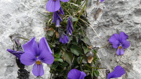 Abruzzo 009 3 Mountain Pansies