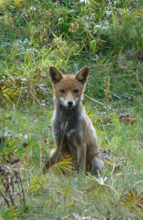 A Fox In The Val Chiarino