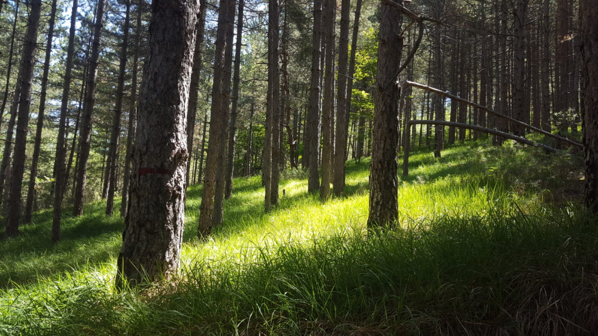 The Pine Forest on Monte Playa