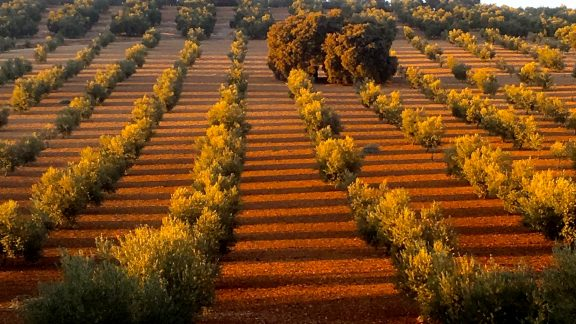 Olive grove in the evening light