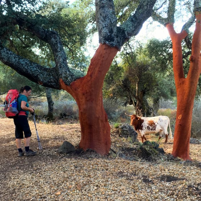 With the cattle in the cork oak forests