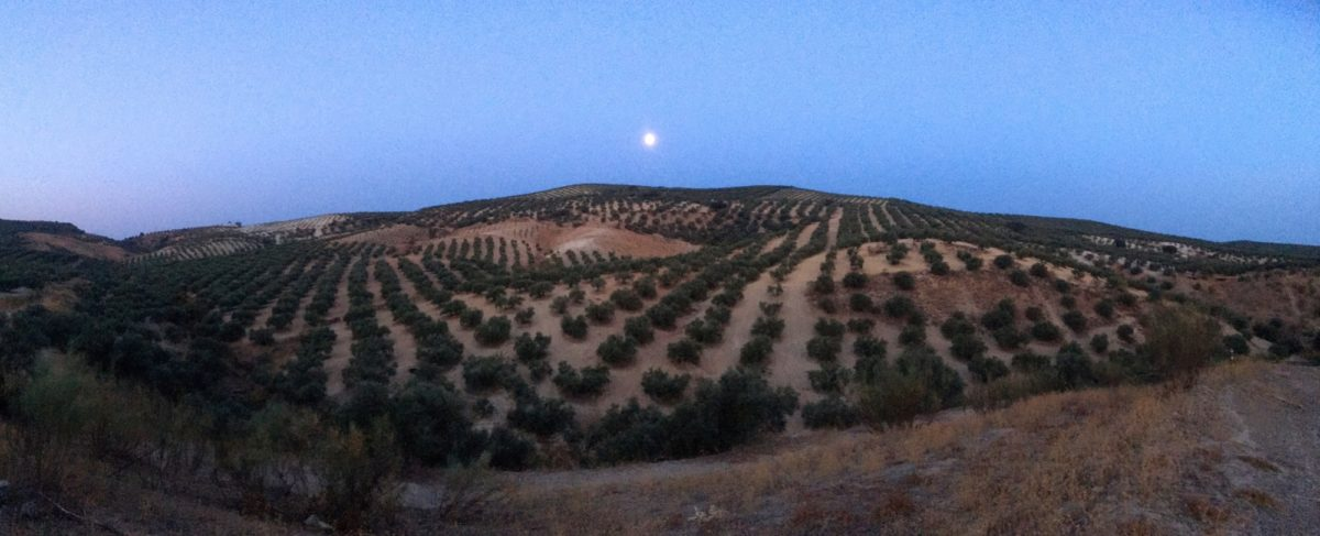 Olive groves in the moonlight