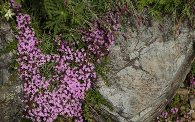 Kitadake15 Five-ribbed thyme (Thymus quinquecostatus) alpine flowers in bloom