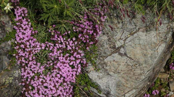 Kitadake15 Five-ribbed thyme (Thymus quinquecostatus) alpine flowers in bloom