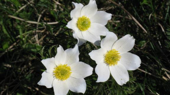 Pulsatilla anemones