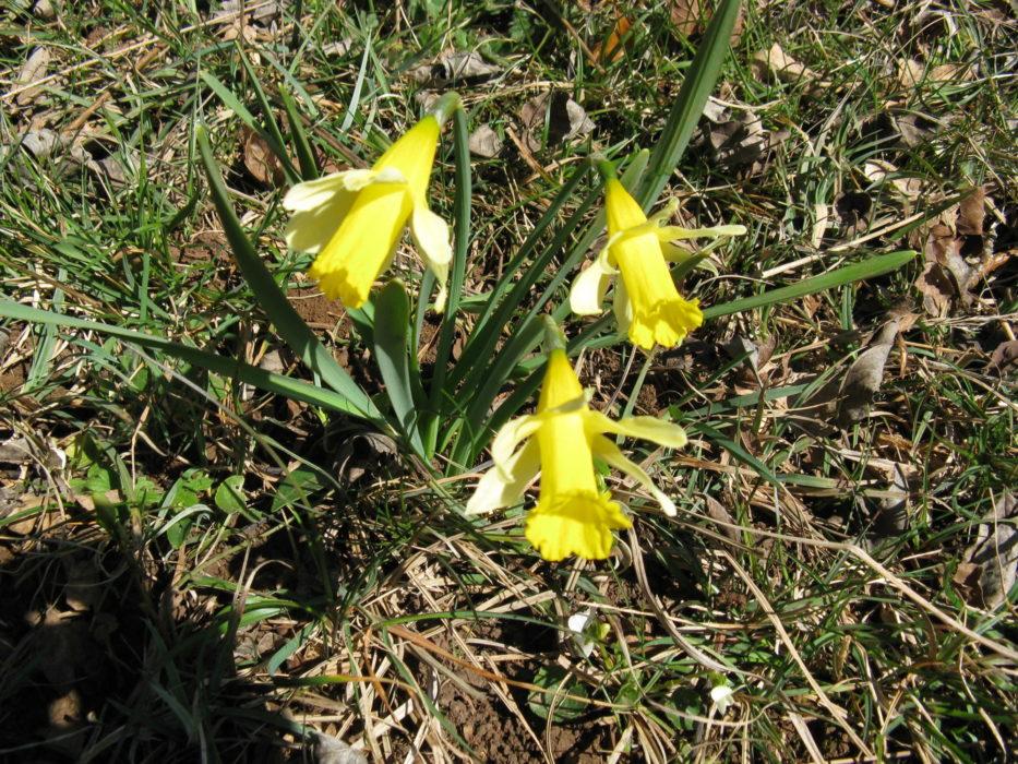 Alpine daffodils