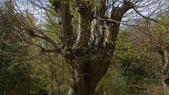 The hornbeam pollard is a staple of Epping Forest management