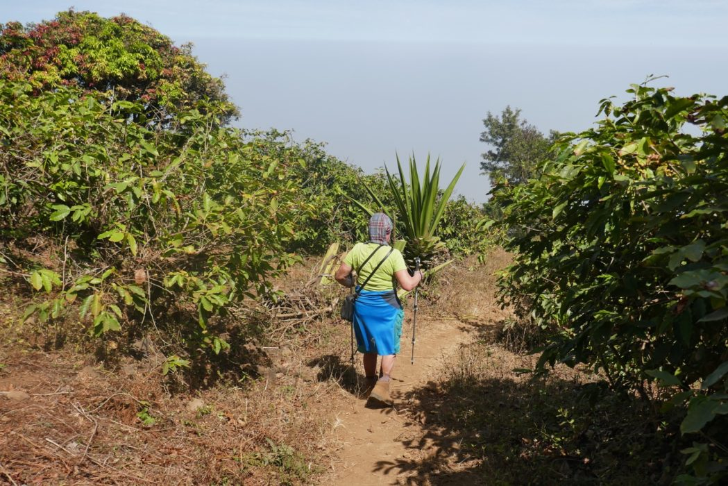 Descending Pico de Fogo through coffee plantations