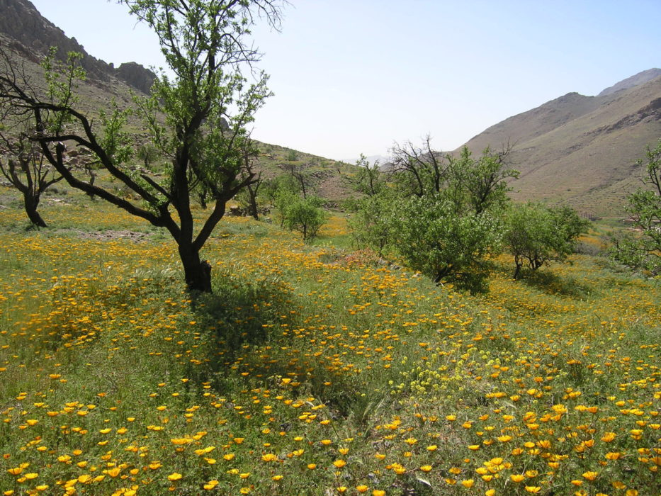 4 A  Wading Through Flowers Near Tizi Ou Manouze