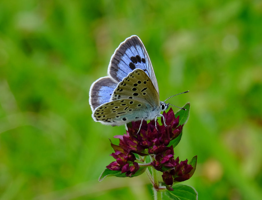 Large blue (butterfly)