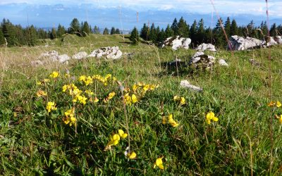 Wildflowers on the Jura