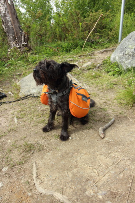 Dogs are a common sight on the Kungsleden, especially on Section 1 between Abisko and Vakkotavare
