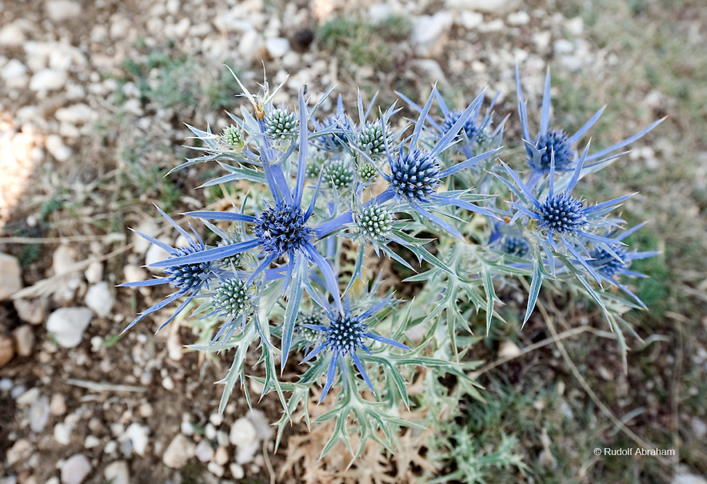 Alpine sea holly (Eryngium alpinum), near the summit of Obzova, the highest point on the island of Krk, Croatia © Rudolf Abraham