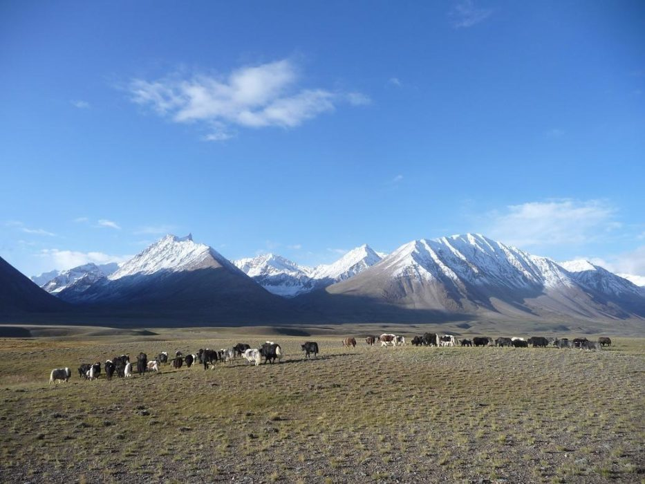 Yaks bask in the morning sun with the Hindu Kush in the background