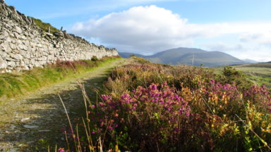 Blooming Heather In Moel Y Ci With The Glyderau Rising In The Distance