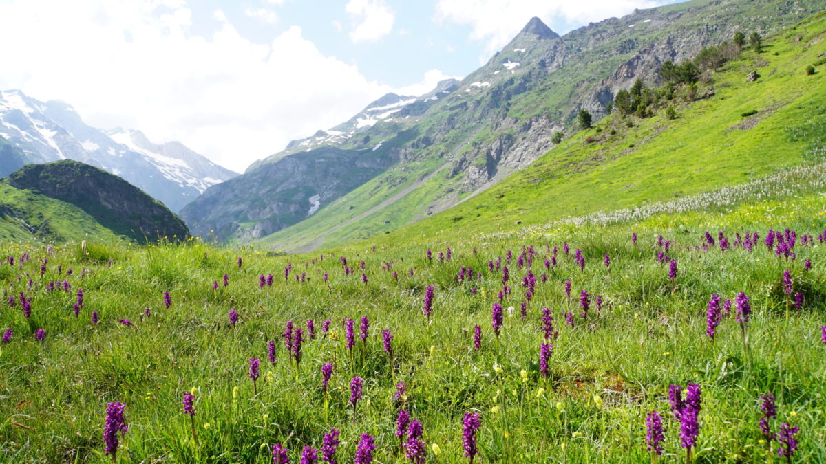 Orchids on the way to Lac du Barrage d'Ossoue