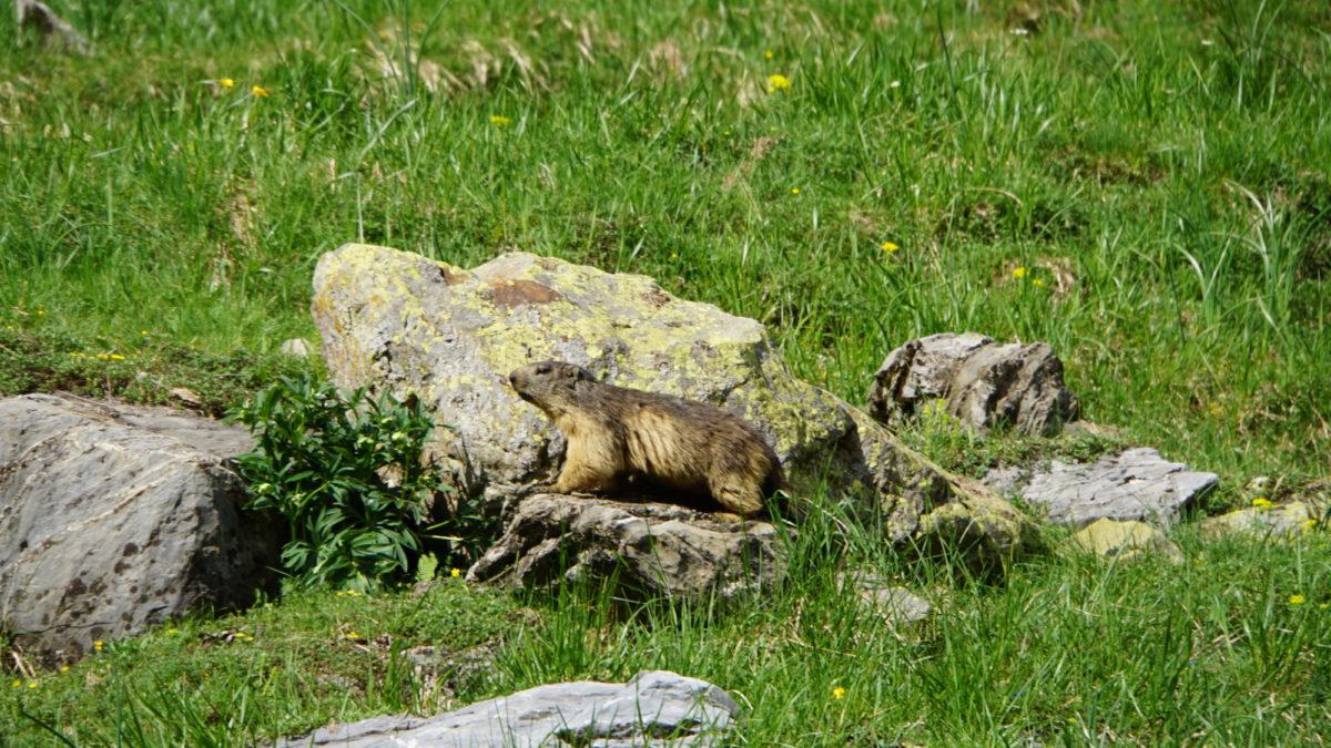 A curious yet cautious marmot