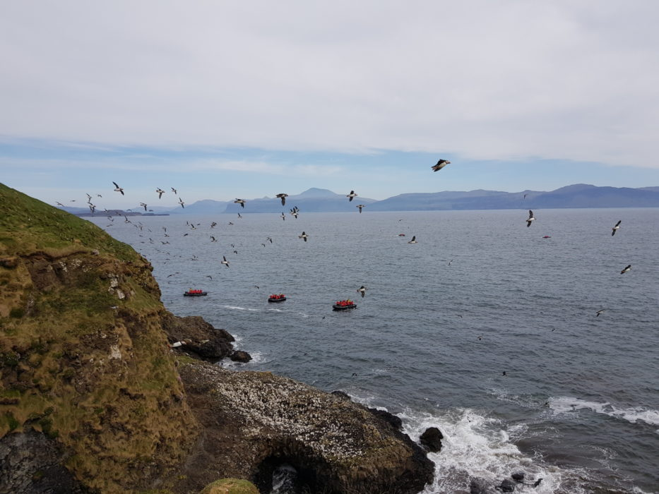 A puffin fly-past
