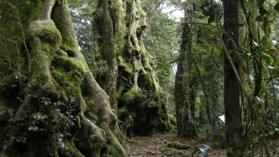 A classic stand of Antarctic beech trees on the Border track between Binna Burra and  O'Reilly's