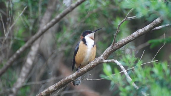 The distinctive Eastern Spinebill, a typical rainforest honeyeater, specialised in extracting nectar from flowers with its long downcurved bill