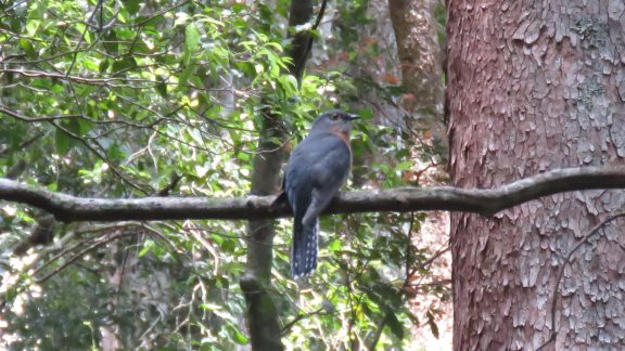 Fan-tailed cuckoos are common in wet eucalypt forest, often singing from exposed perches