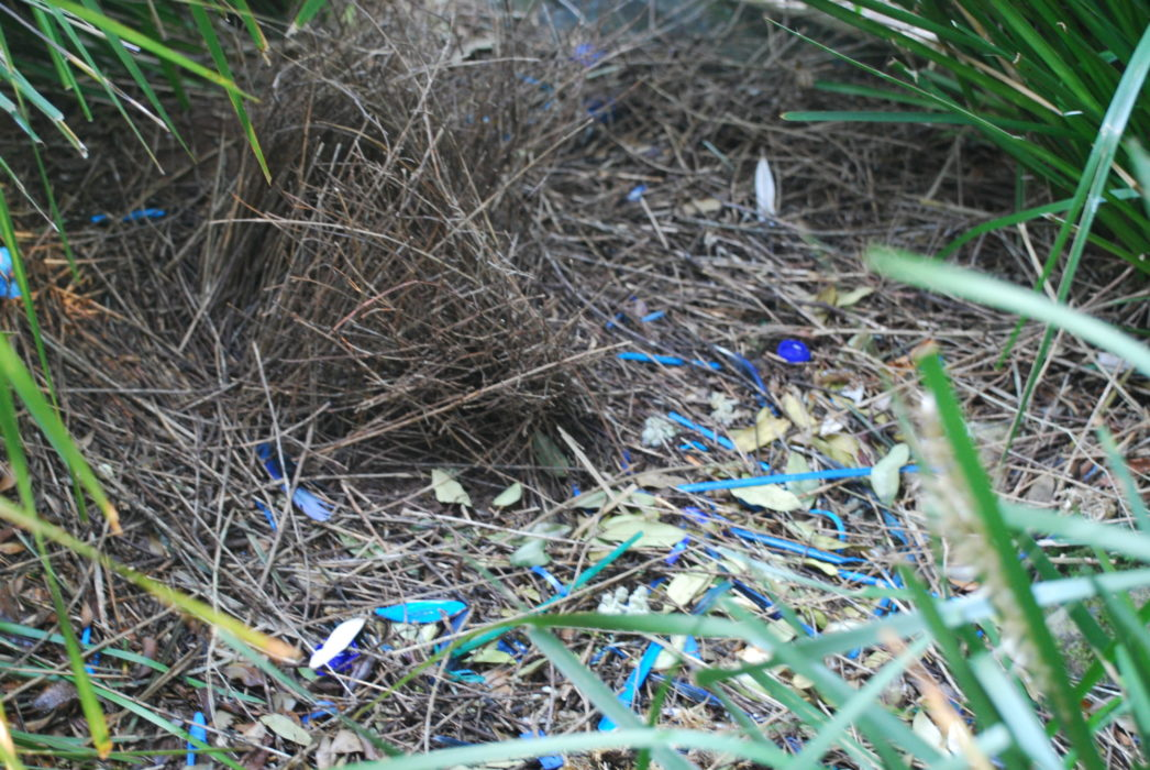 The bower of a male satin bowerbird, a rainforest specialist which attracts females by  decorating the bower and its approaches with a variety of mainly blue objects