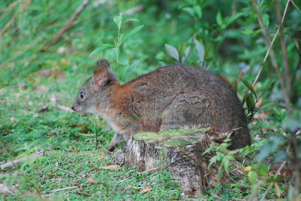 Red-necked pademelons are the least elusive of Lamington's mammals, often browsing on  herbs and grasses at the rainforest edge