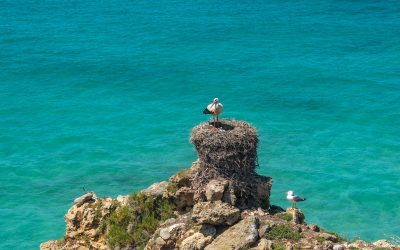 Storks build cumbersome nests right on the cliff edge