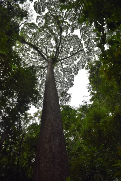 A giant of the lowland rainforest