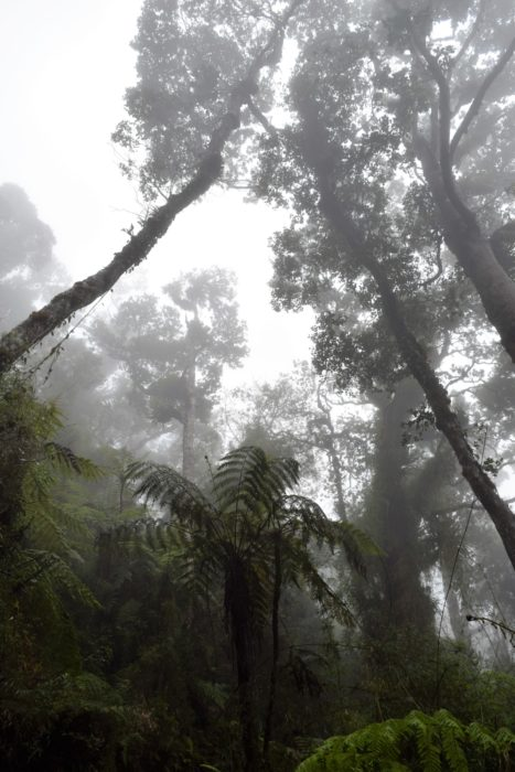 Tree ferns in the mist wreathed montane forest