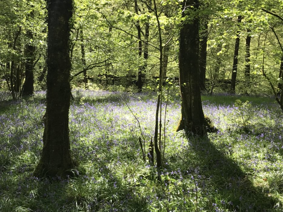 Bluebells near Coniston