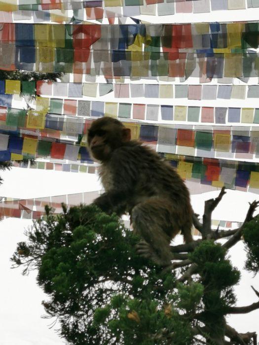 A monkey at Monkey Temple, Kathmandu