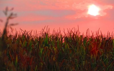 6 Sunrise over corn