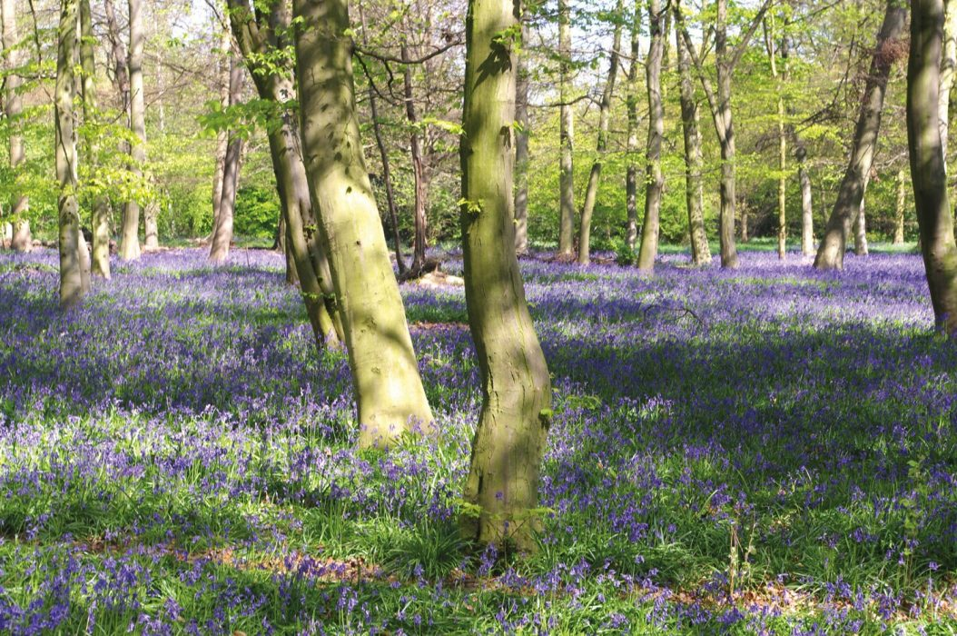 bluebells in Chalet Wood