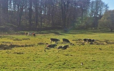 Cows grazing at Sizergh Castle