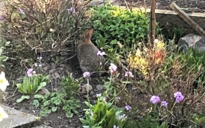 Rabbit caught in the act