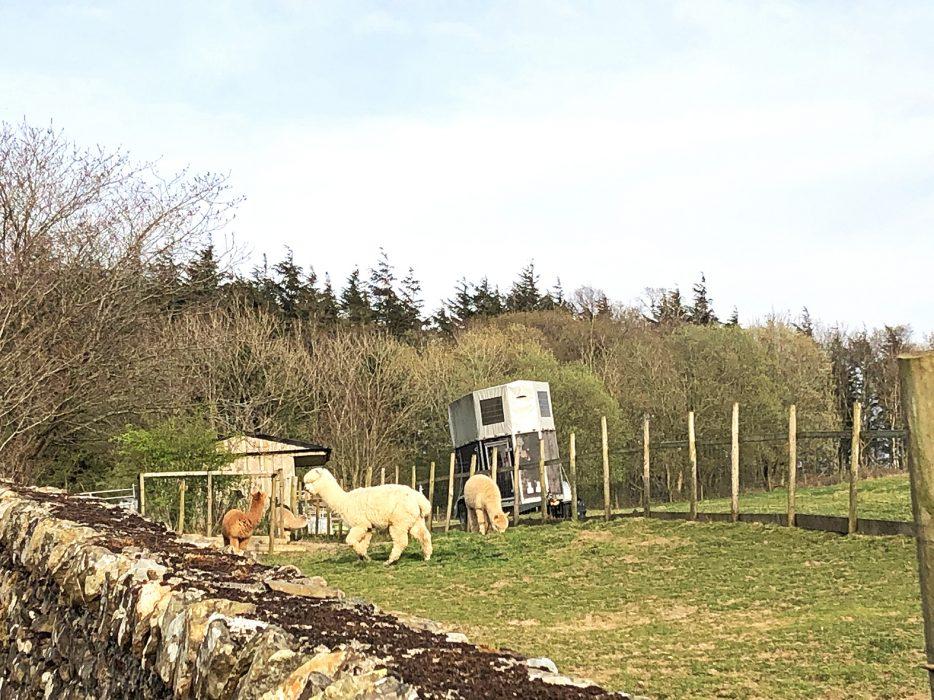Alpacas in Cumbria