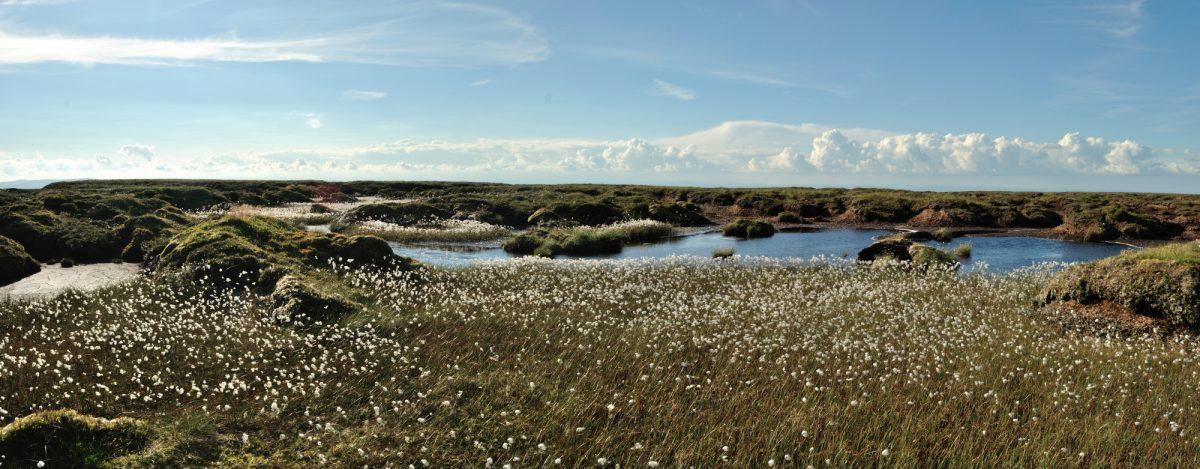 Bog cotton on Peel Fell, Northumberland