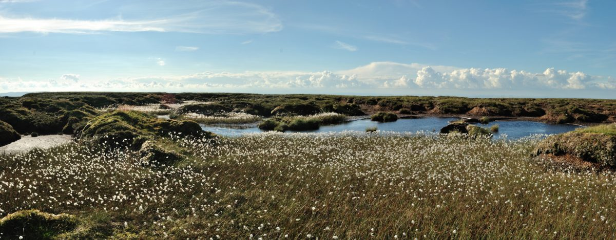 Bog cotton on Peel Fell, Northumberland