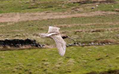 A curlew seen on a previous walk in the North Pennines