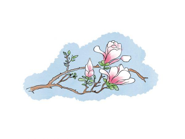 Himalayan garden magnolia