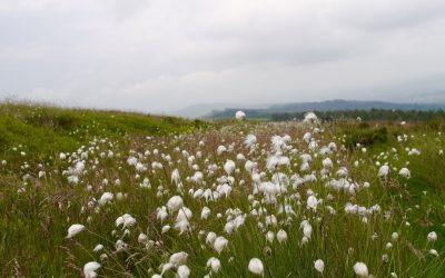 Cottongrass Flourishing On The High Moorlands