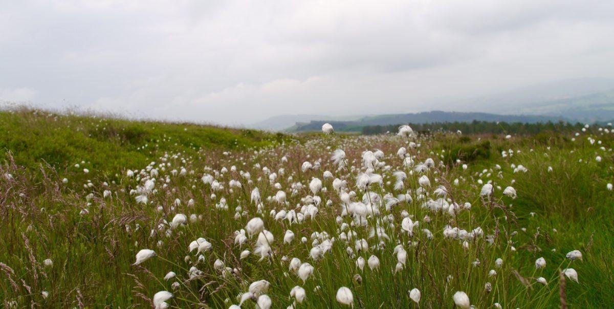 Cottongrass Flourishing On The High Moorlands