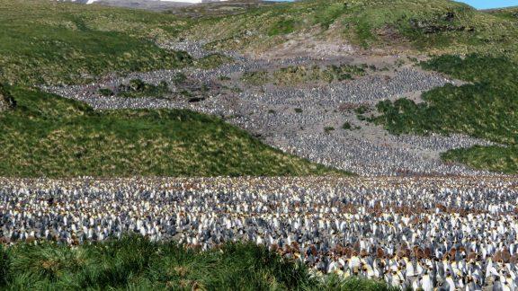 King Penguin Colony At  Salisbury  Plain
