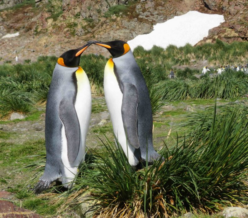 King Penguins Kissing