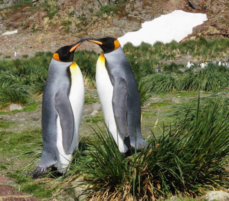 King Penguins Kissing
