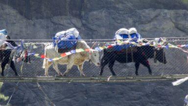 Yaks In  Nepal