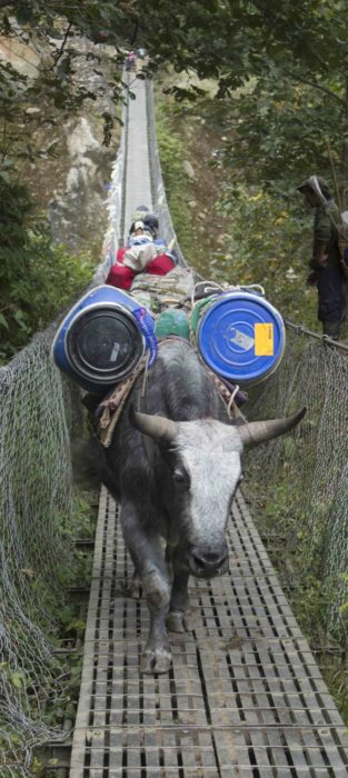 Heavily Laden Dzos Add To The Drama Of Bridge Crossings