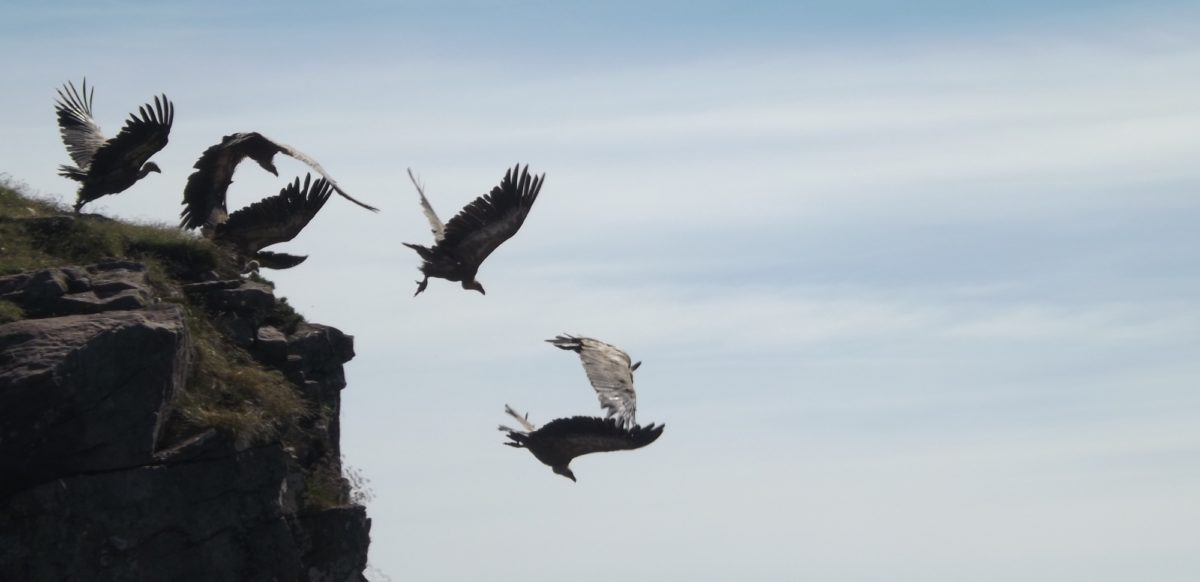 Griffon  Vultures In The  Pyrenees